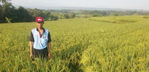 Kabupaten Bogor Terus Galakkan Penangkar Benih Padi
